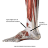 extensor-tendons3