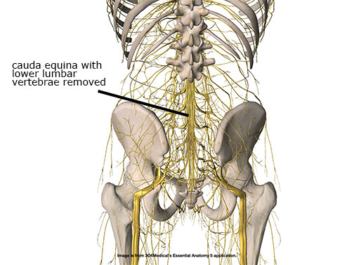 Recognizing Cauda Equina Syndrome - Academy of Clinical Massage