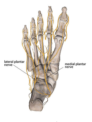 digital plantar nerves plantar view