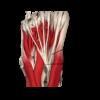 Flexor hallucis longus and flexor digitorum longus