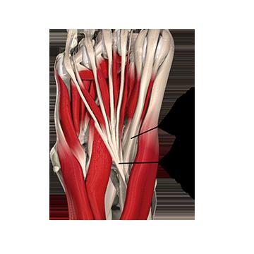 flexor hallucis longus dysfunction academy of clinical massage