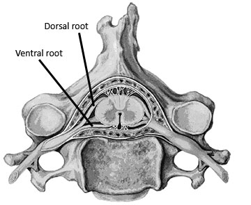 Figure 1: Dorsal and ventral roots near the spinal cord