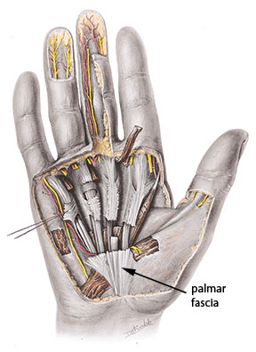 Figure 1: palmar fascia