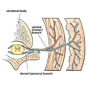 Dorsal and sensory nerve roots