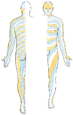 Common dermatome map