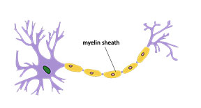 Myelin sheath around nerve fiber