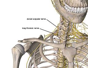 Proximity to dorsal scapular nerve