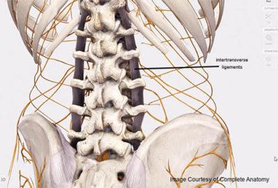 Intertransverse Ligaments