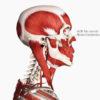 Figure 3 Axis of rotation at the atlanto-occipital joint for cranial flexion and extension Image is from 3D4Medical's Complete Anatomy application