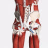 Figure 1 Hamstring tendons connect with sacrotuberous ligament Image is from 3D4Medical's Complete Anatomy application