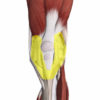 Figure 5 Patellar retinaculum (highlighted in yellow) helps transmit contractile forces from the quadriceps to the tibia Image is from 3D4Medical's Complete Anatomy application