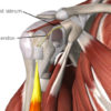 Figure 1 Humeral head cut away to show biceps tendon blending into superior labrum Image is from 3D4Medical's Essential Anatomy 5 application